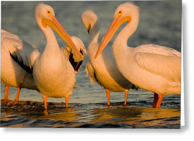 Four Animals Greeting Cards - A Group Of American White Pelicans Greeting Card by Tim Laman