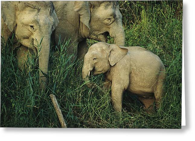 Borneo Island Greeting Cards - A Juvenile Asian Elephant With Two Greeting Card by Tim Laman