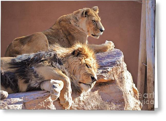 Lioness Greeting Cards - A King and His Queen Greeting Card by George Sylvia
