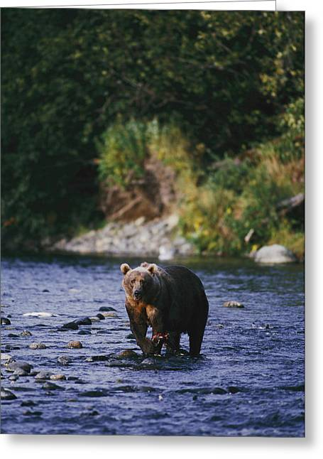 Ursus Middendorfii Greeting Cards - A Kodiak Brown Bear Ursus Middendorfii Greeting Card by George F. Mobley