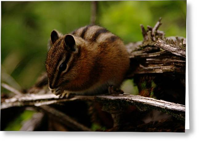 A Little Chipmunk Greeting Card by Jeff Swan