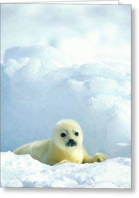 Roost Photographs Greeting Cards - A  Newborn Harp Seal Pup In A Thin Greeting Card by Norbert Rosing
