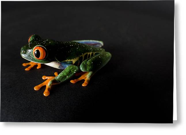 Sunset Zoo Greeting Cards - A Red-eyed Tree Frog Agalychnis Greeting Card by Joel Sartore