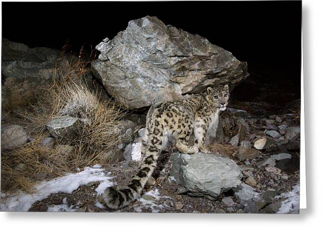 Remote Cameras And Remote Camera Traps Greeting Cards - A Remote Camera Captures A Snow Leopard Greeting Card by Steve Winter