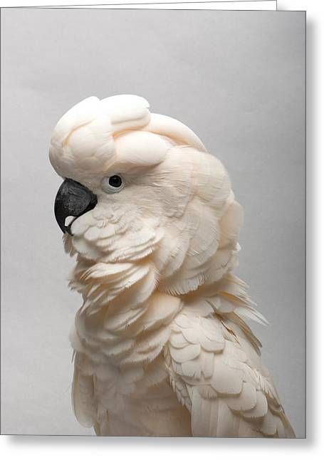 Salmon Photographs Greeting Cards - A Salmon-crested Cockatoo Greeting Card by Joel Sartore