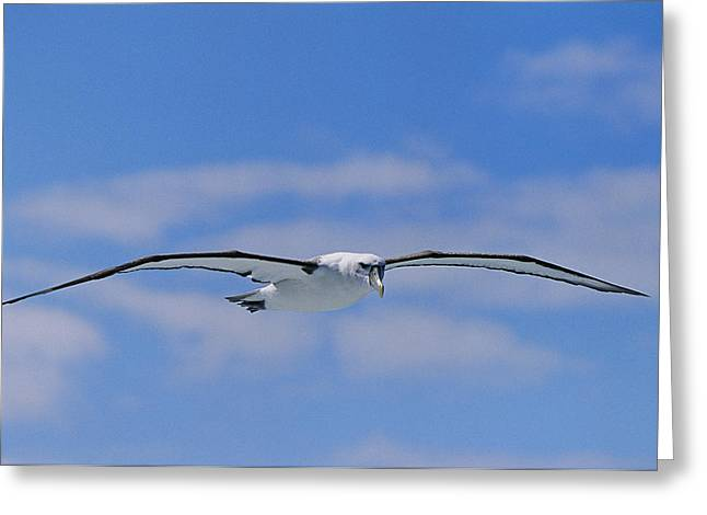 Flying Animal Greeting Cards - A Shy Albatross In Flight In A Clear Greeting Card by Jason Edwards