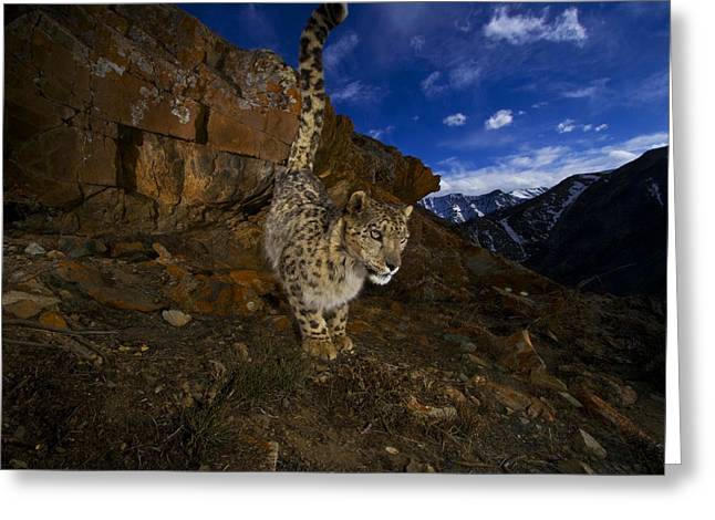 Urinating Greeting Cards - A Snow Leopard Signals Its Presence Greeting Card by Steve Winter