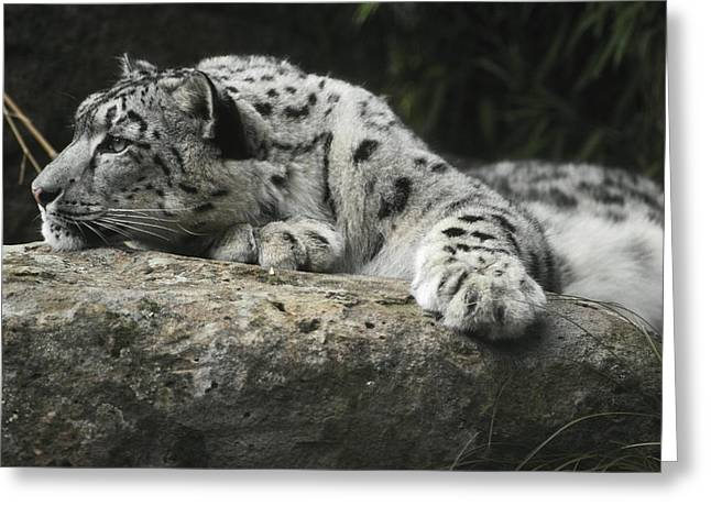 A Snow Leopard Takes Time Out To Rest Greeting Card by Jason Edwards