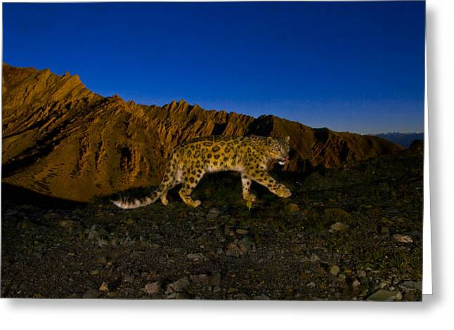 Remote Cameras And Remote Camera Traps Greeting Cards - A Snow Leopard Traverses A Rocky Slope Greeting Card by Steve Winter
