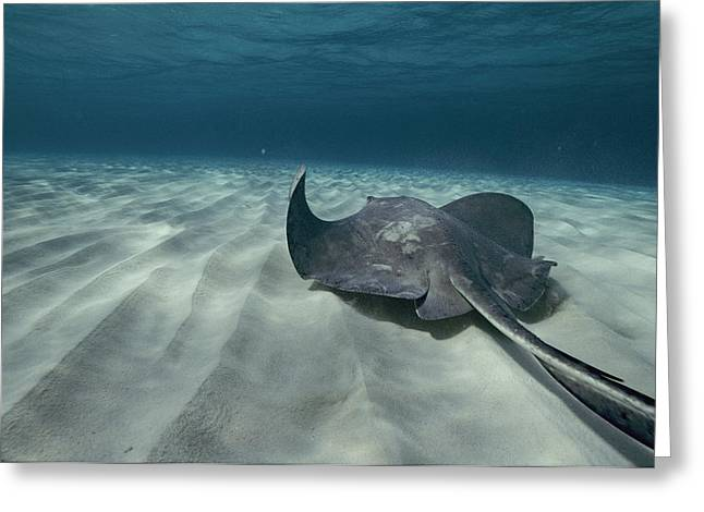 Southern Stingrays Greeting Cards - A Southern Stingray Dasyatis Americana Greeting Card by Bill Curtsinger