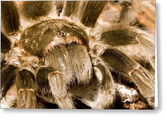Mangrove Forest Greeting Cards - A Tarantula Living In Mangrove Forest Greeting Card by Tim Laman