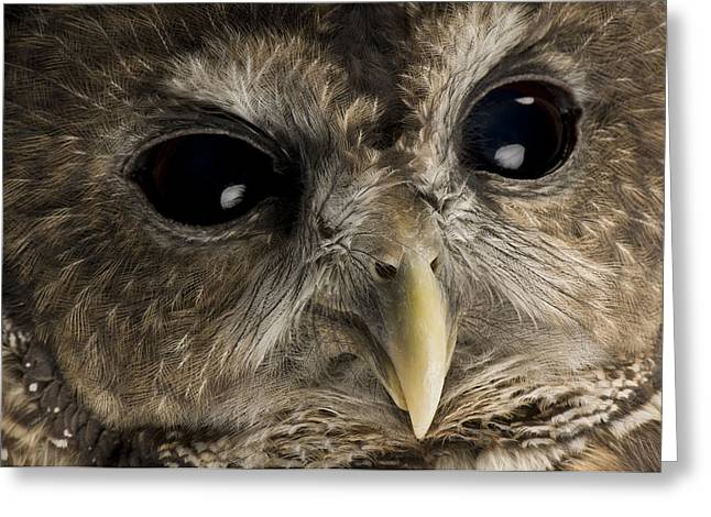 Merlin Greeting Cards - A Threatened Northern Spotted Owl Greeting Card by Joel Sartore