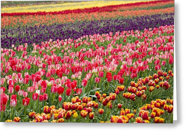 Woodburn Greeting Cards - A Tulip Field Greeting Card by Craig Tuttle