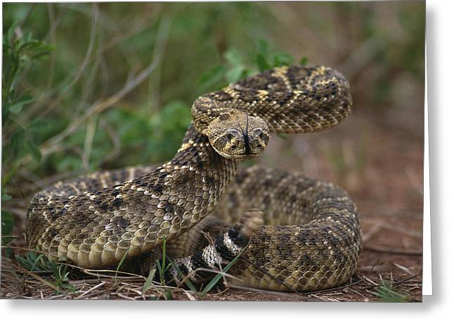 Aggression And Competition Greeting Cards - A Western Diamondback Rattlesnake Greeting Card by Joel Sartore