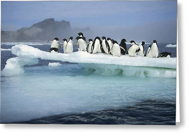 Antarctic Ocean Greeting Cards - Adelie Penguin Pygoscelis Adeliae Group Greeting Card by Tui De Roy