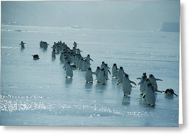 Tobogganing Greeting Cards - Adelie Penguins Greeting Card by Doug Allan