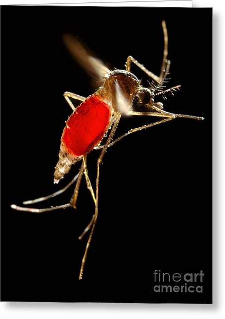Aedes Aegypti Mosquito Greeting Card by Science Source