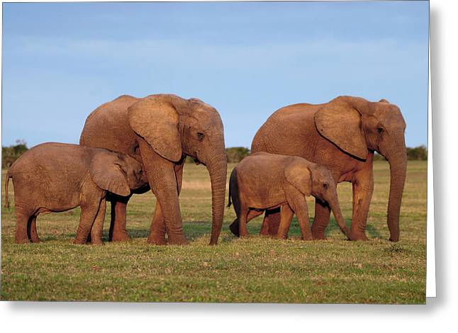 Caring Mother Greeting Cards - African Elephants Greeting Card by Peter Chadwick