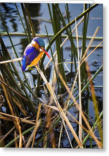 Rustenburg Greeting Cards - African Pigmy Kingfisher Greeting Card by Ronel Broderick