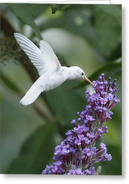 Ruby Throated Hummingbird Greeting Cards - Albino Ruby-Throated Hummingbird Greeting Card by Kevin Shank Family