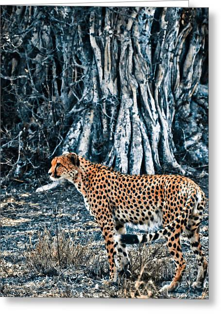 Duo Tone Greeting Cards - Alert Cheetah Greeting Card by Darcy Michaelchuk