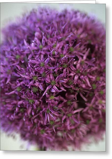 Allium Flower (allium Sp.) Greeting Card by Cristina Pedrazzini