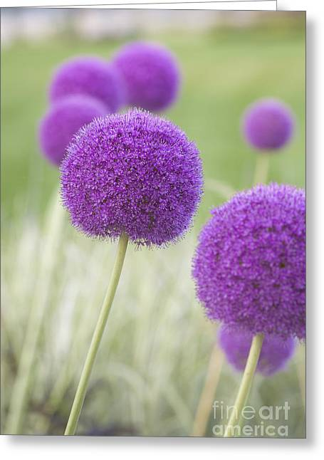 Allium Hollandicum Greeting Cards - Allium hollandicum Greeting Card by Roberto Morgenthaler