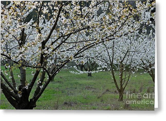 Languedoc Greeting Cards - Almond tree in flower at spring Greeting Card by Sami Sarkis