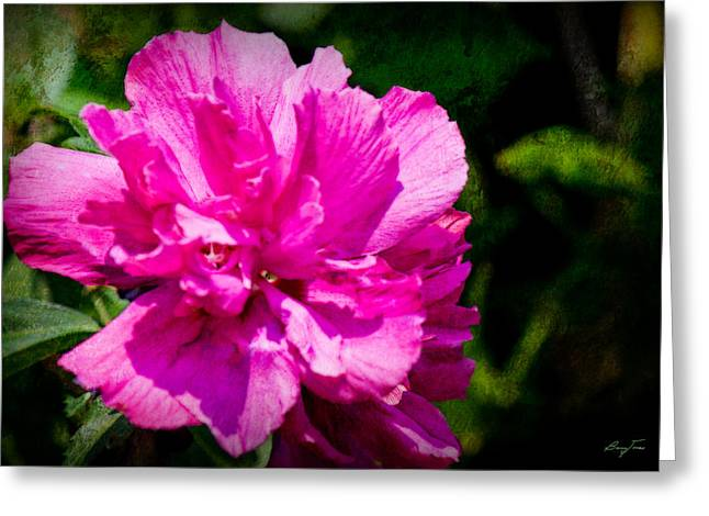 Althea Photographs Greeting Cards - Althea Blossom Greeting Card by Barry Jones