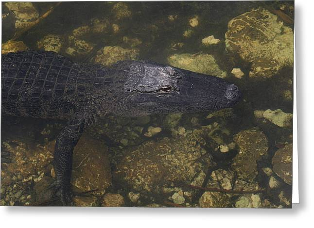 Wildlife Refuge. Pyrography Greeting Cards - American Aligator  Greeting Card by Valia Bradshaw