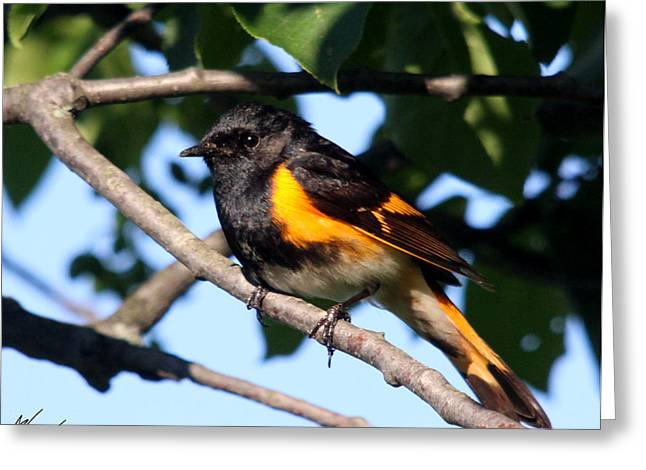 American Redstart Greeting Cards - American Redstart Greeting Card by Sarah  Lalonde