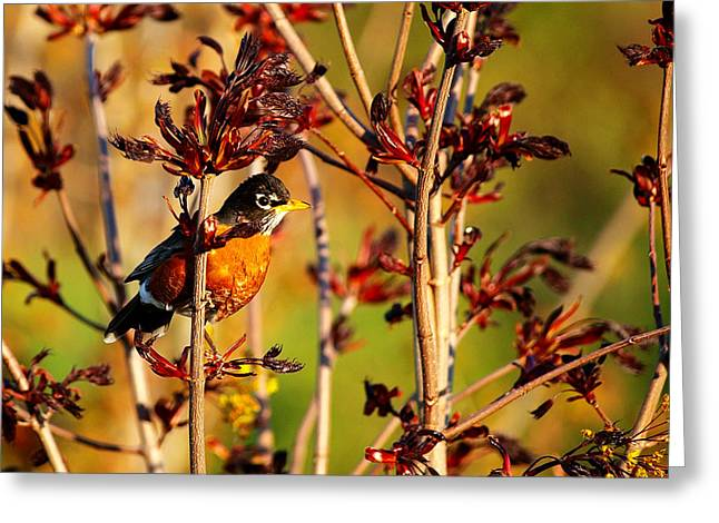 Birdwatcher Greeting Cards - American Robin Greeting Card by Paul Ge