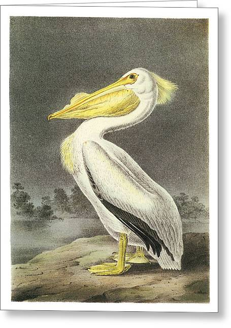 Pelican Paintings Greeting Cards - American White Pelican Greeting Card by John James Audubon