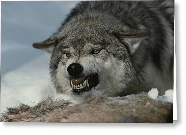 Anger And Hostility Greeting Cards - An Alpha Male Gray Wolf, Canis Lupus Greeting Card by Jim And Jamie Dutcher