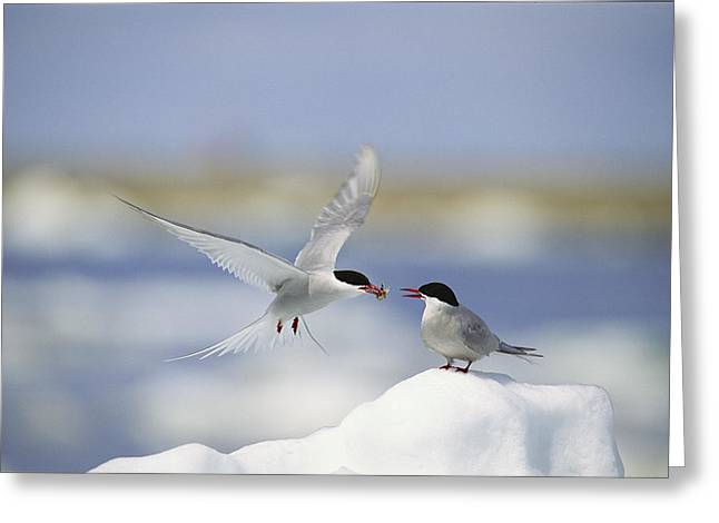 An Arctic Tern Delivers Greeting Card by Norbert Rosing