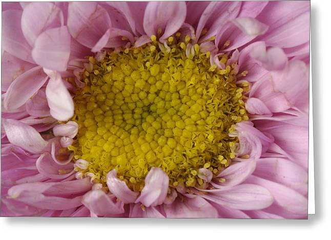 Asters Greeting Cards - An Aster Flower Aster Ericoides Greeting Card by Joel Sartore