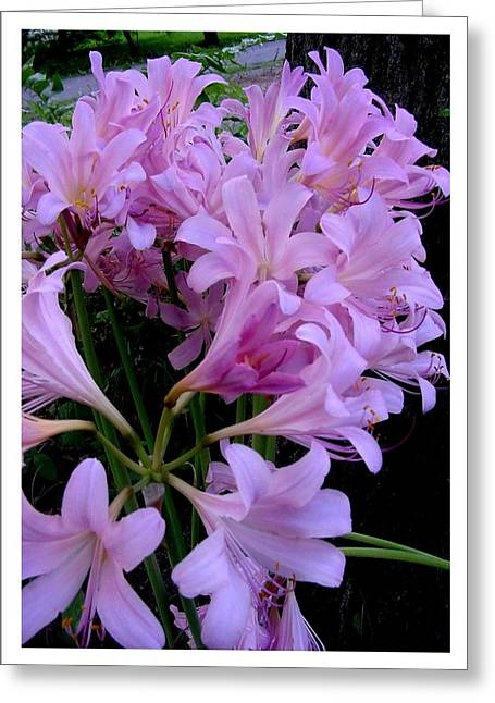 Hardy Amaryllis Greeting Cards - An attractive multitude Greeting Card by Frank Wickham