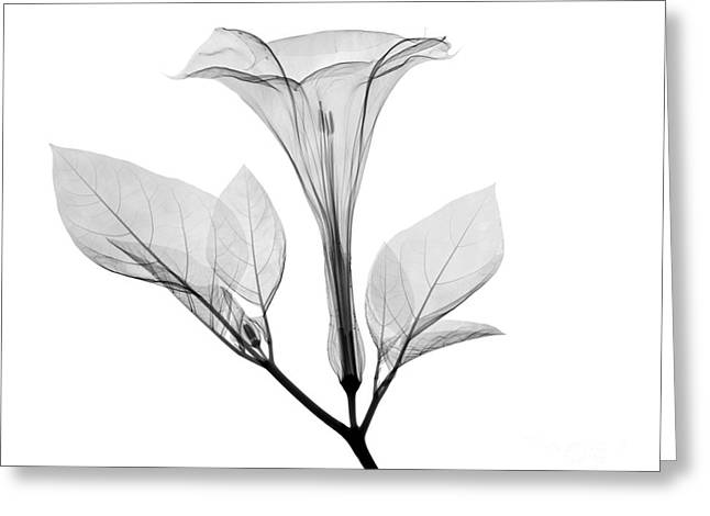 Jimson Weed Greeting Cards - An X-ray Of A Datura Flower Greeting Card by Ted Kinsman