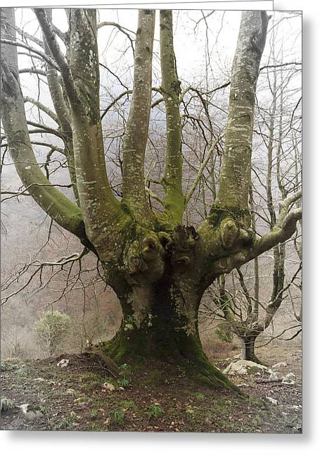 Rama Greeting Cards - Ancient beech tree  Greeting Card by Fernando Alvarez