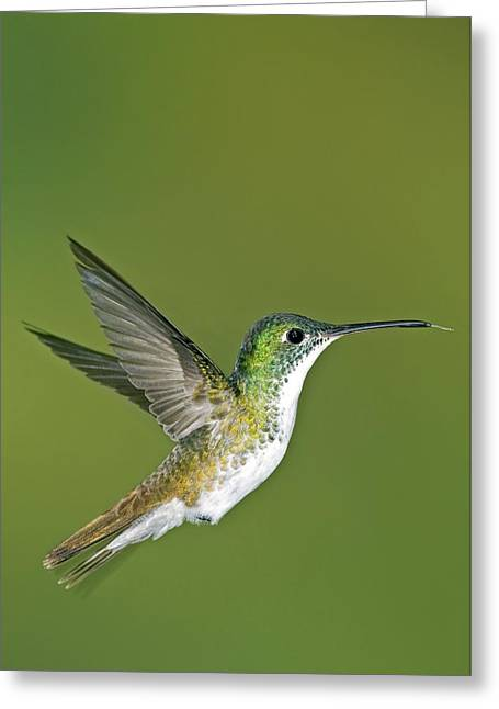 Coloured Plumage Greeting Cards - Andean Emerald Hummingbird Greeting Card by Tony Camacho