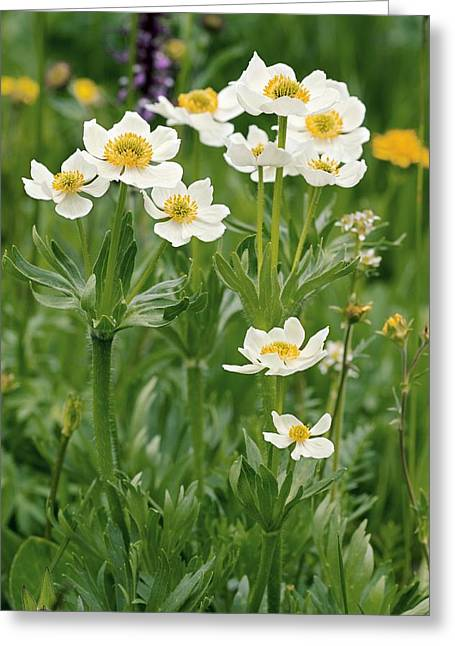 Ss Unites States Greeting Cards - Anemone Narcissiflora Greeting Card by Bob Gibbons
