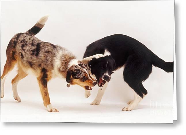 Animal Behaviour Greeting Cards - Angry Dogs Greeting Card by Jane Burton