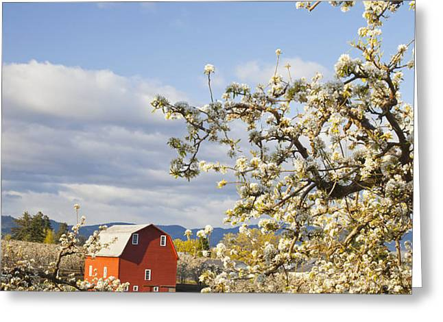 Apple Blossom Trees And A Red Barn In Greeting Card by Craig Tuttle