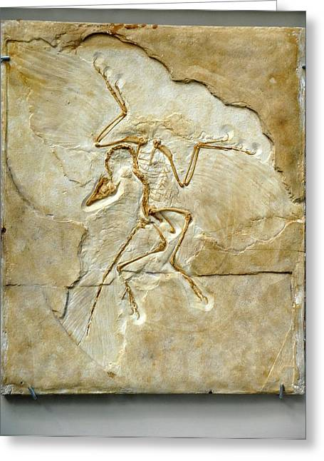 Ornithological Photographs Greeting Cards - Archaeopteryx Fossil, Berlin Specimen Greeting Card by Chris Hellier