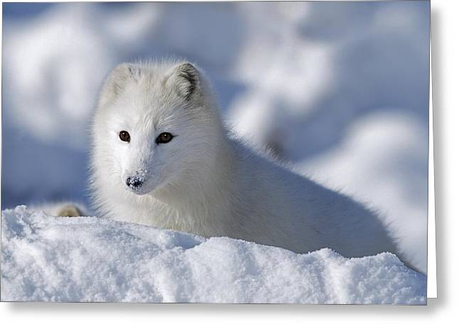 Arctic Fox Exploring Fresh Snow Alaska Greeting Card by David Ponton