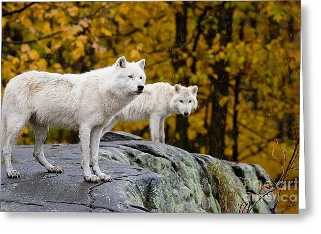 Nature Photograph Greeting Cards - Arctic Wolves On Rocks Greeting Card by Michael Cummings