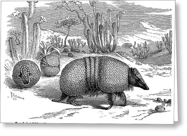 19th Century America Greeting Cards - ARMADILLO, 19th CENTURY Greeting Card by Granger