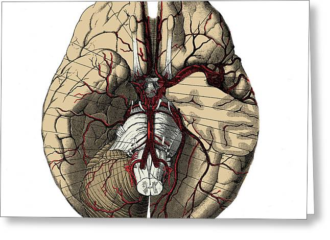 Human Brain Greeting Cards - Arteries Of The Brain Greeting Card by Science Source