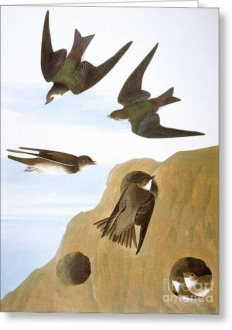 Swallow Hole Greeting Cards - Audubon: Swallows, 1827-38 Greeting Card by Granger