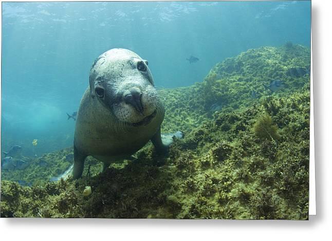 Australian Sea Lion Greeting Card by Matthew Oldfield